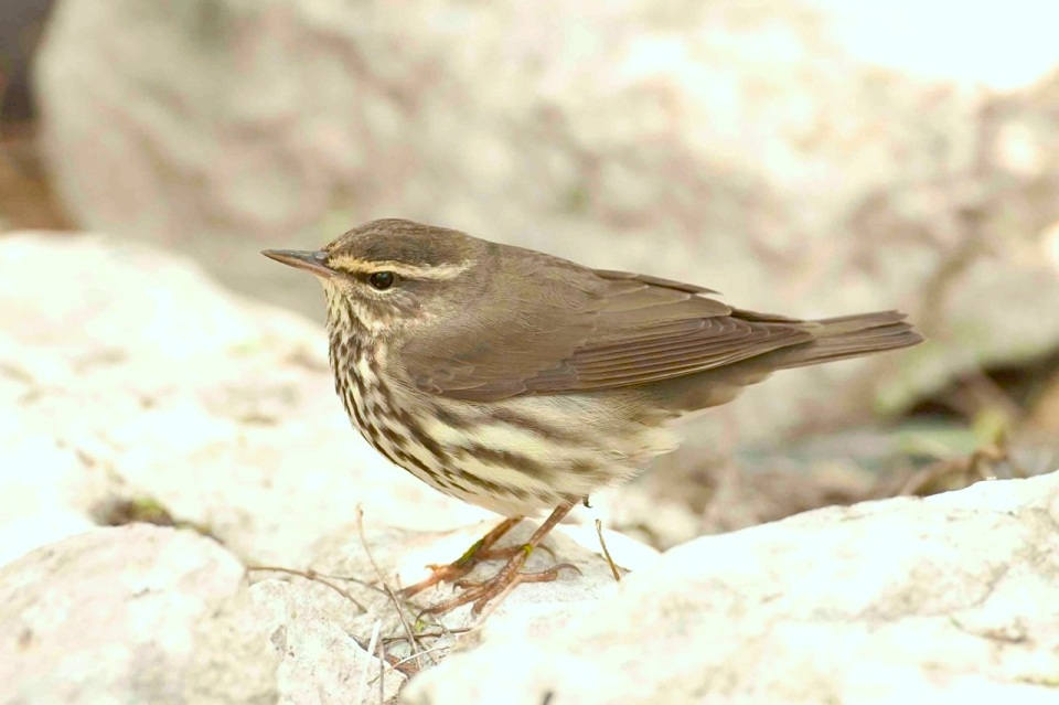 Northern Waterthrush.Bahama Palm Shores.Abaco.2.Tom Sheley