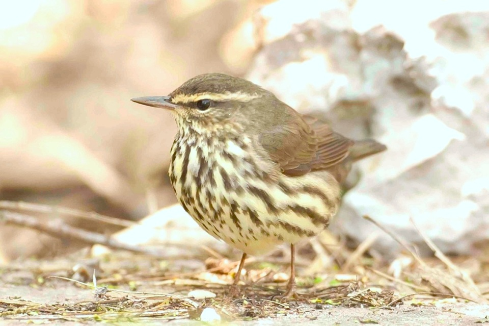 Northern Waterthrush.Bahama Palm Shores.Abaco.3.Tom Sheley