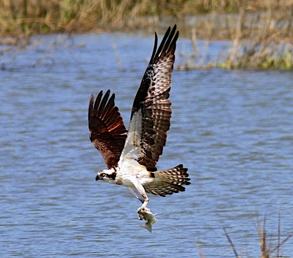 Osprey with fish (Phil Lanoue)