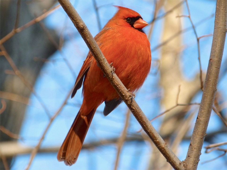Red Cardinal 2 NYC