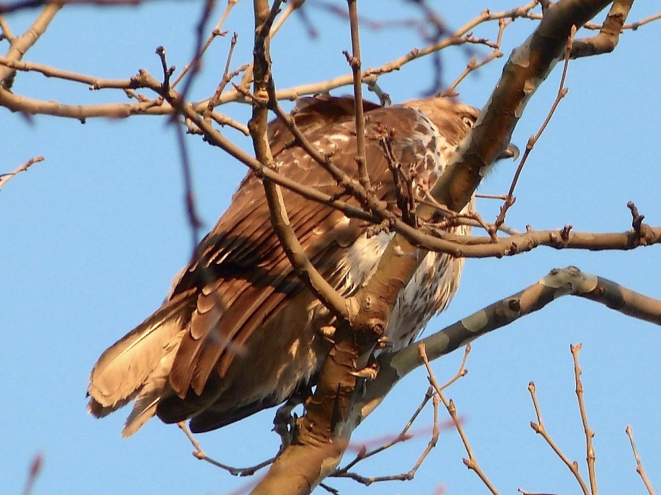 Red-tailed Hawk Central Park NYC