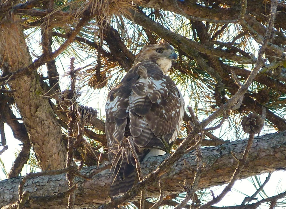 Red-tailed Hawk NYC Prospect Park Brooklyn
