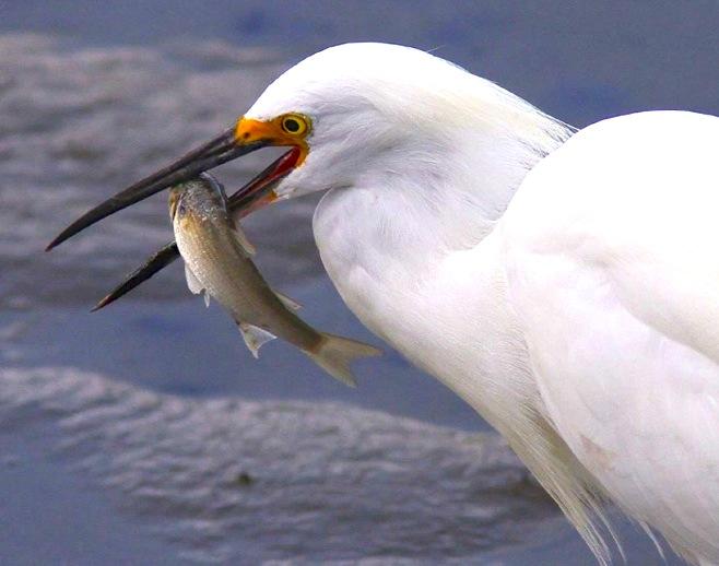 Reddish Egret (white morph) with fish (Phil Lanoue)