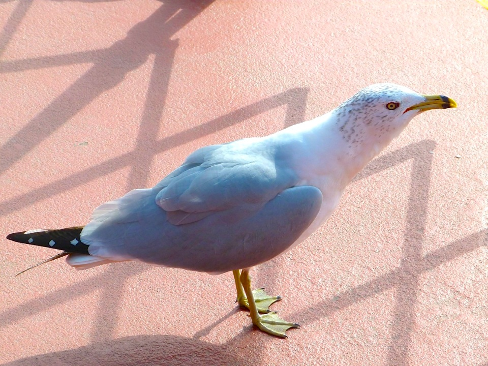 Ring-billed Gull NYC 2 Staten Island Ferry