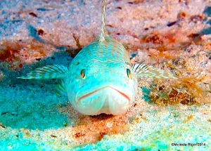 Sand Diver ©Fred Riger @ G B Scuba