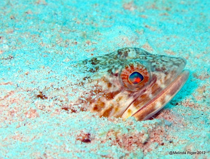 Sand Diver Fish