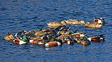 Spinus-northern-shoveler-2015-01-n025006-w