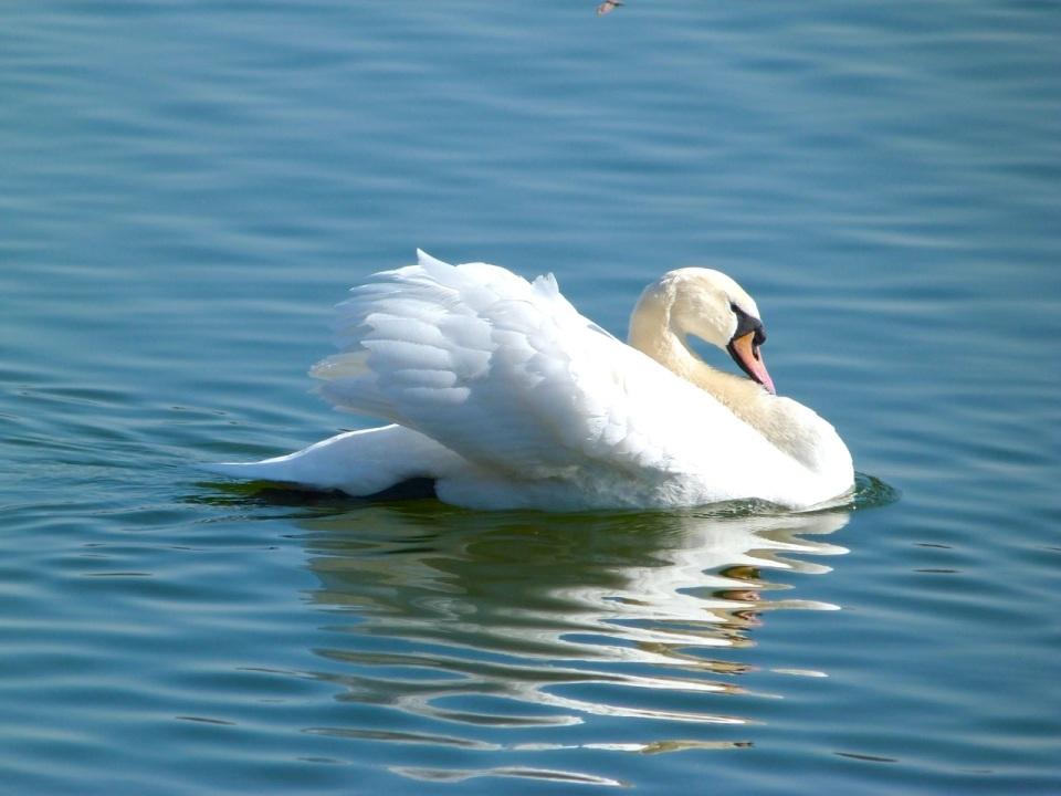 Swan 2 NYC
