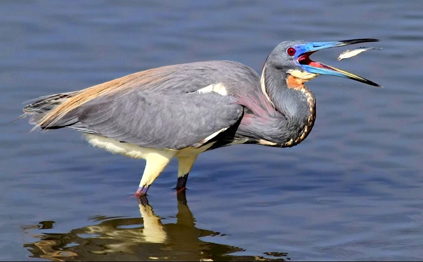 Tri-colored Heron with fish (Phil Lanoue)