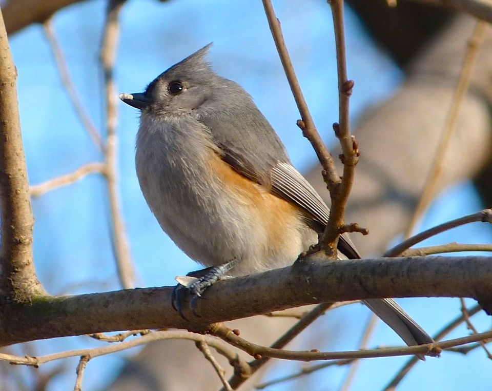 Tufted Titmouse 3 NYC