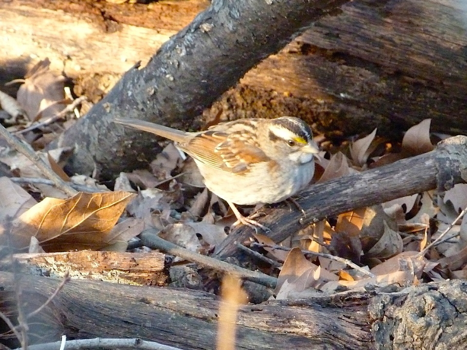 White-throated Sparrow NYC