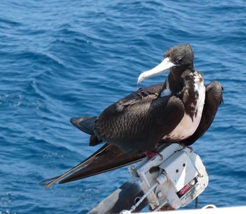 Magnificent Frigatebird (f) hitching a boat ride (Cheryl Wile Ferguson)