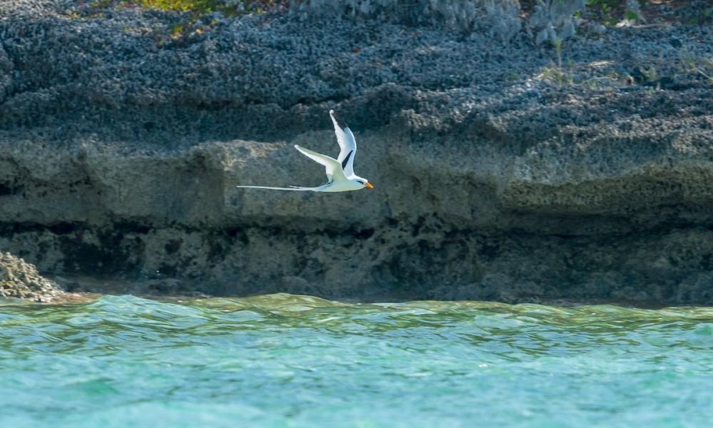 White-tailed Tropicbird Phaethon lepturus catesbyi, Abaco Bahamas (Sally Chisholm)