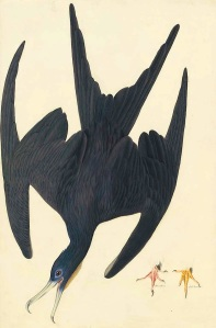 Audubon Frigatebird