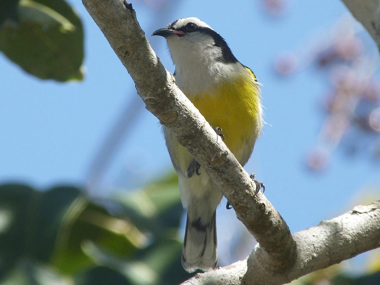Bananaquit, Abaco 1 (Keith Salvesen)