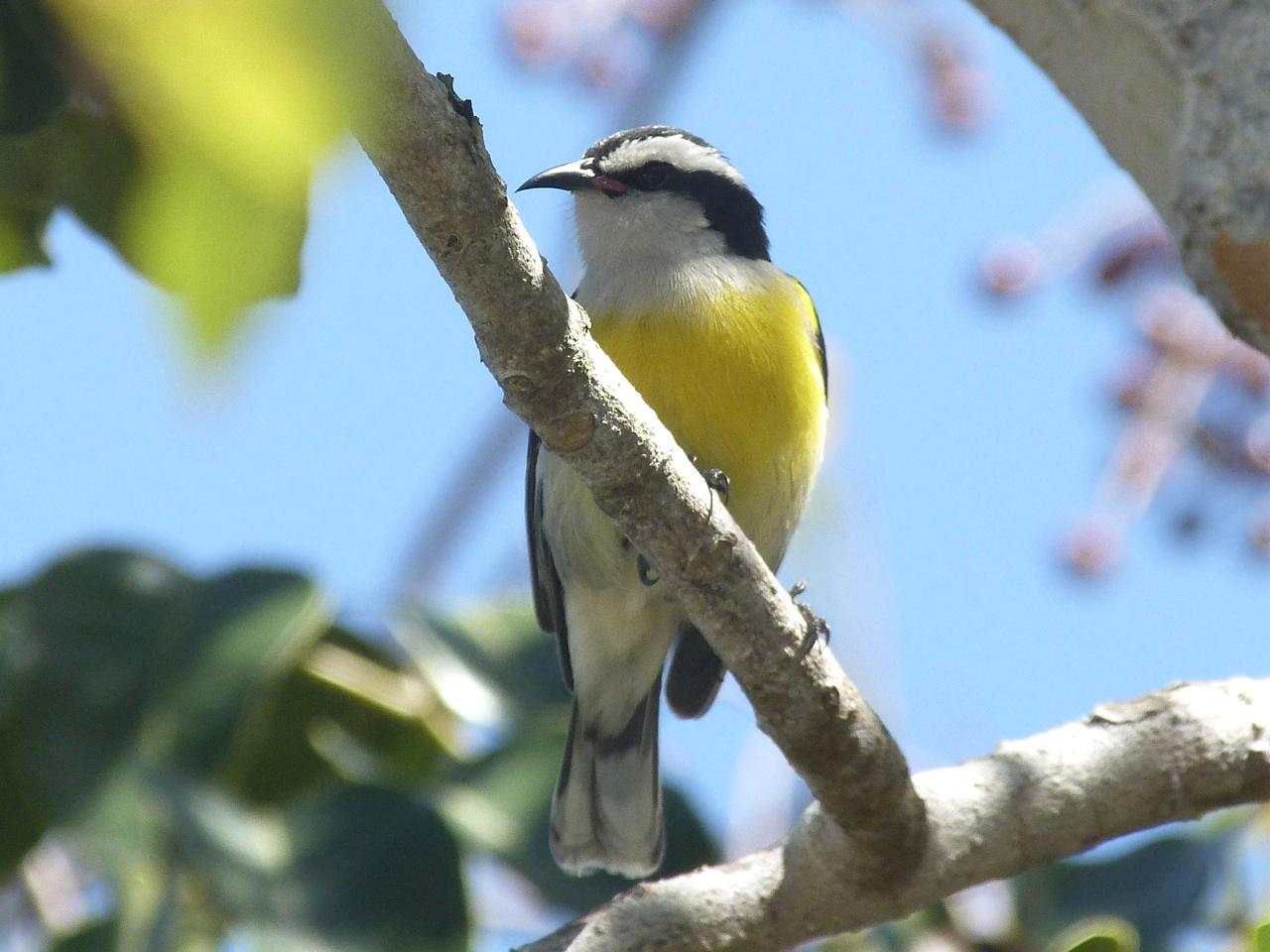 Bananaquit, Abaco 2 (Keith Salvesen)