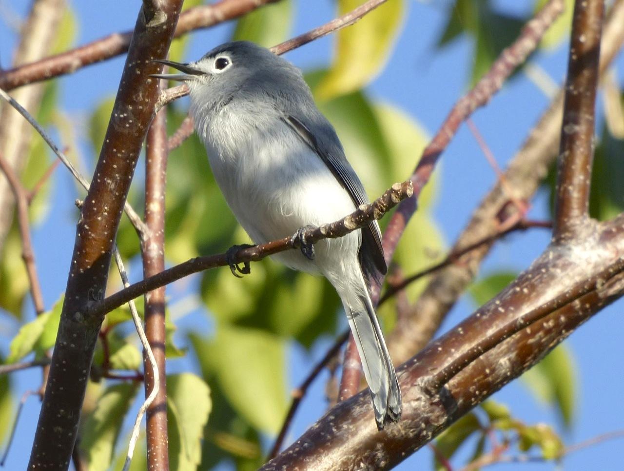 Blue-gray Gnatcatcher, Abaco 1 (Keith Salvesen)