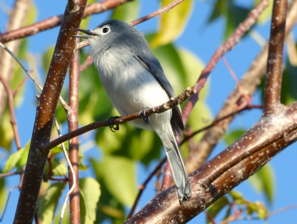 Blue-gray Gnatcatcher, Abaco 1 (Keith Salvesen)