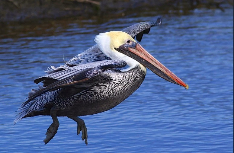 Brown Pelican 1 (Phil Lanoue)