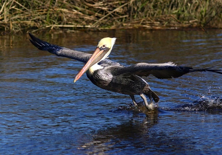Brown Pelican 2 (Phil Lanoue)