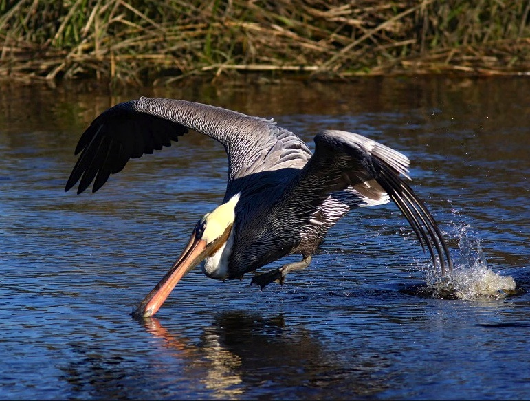 Brown Pelican 3 (Phil Lanoue)
