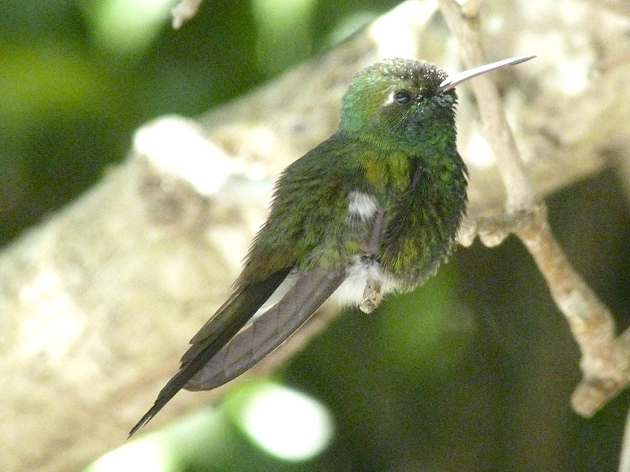 Cuban Emerald, Abaco (Keith Salvesen)