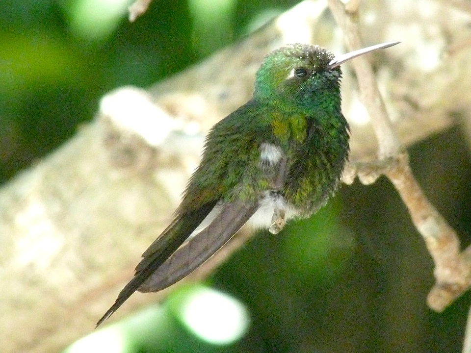 Cuban Emerald, Abaco (Keith Salvesen)