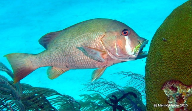 Dog Snapper at cleaning station ©Melinda Riger @ G B Scuba copy