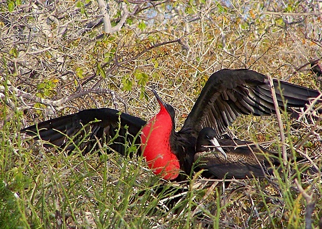 frigatebird-displaying