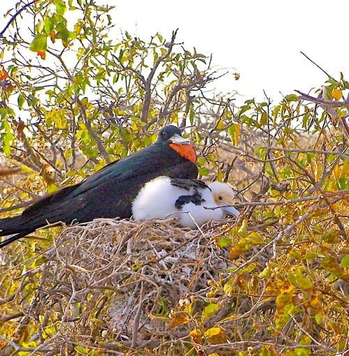 Magnificent Frigatebird (m) and chick on nest - Athena Alexander / Jet Eliot