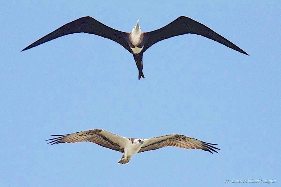 Frigatebird & Osprey Michael Vaughn