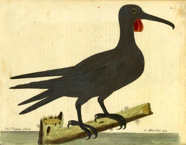 Frigatebird_Eleazar_Albin_1737