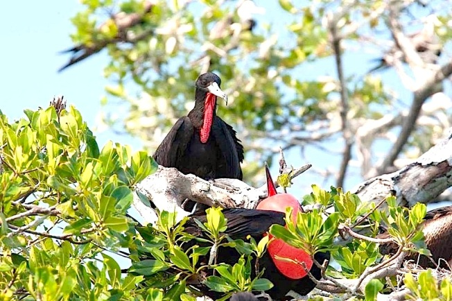 Frigatebirds (m) 1 Michael Vaughn
