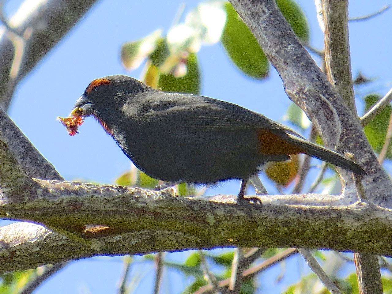 Greater Antillean Bullfinch, Abaco (Keith Salvesen)