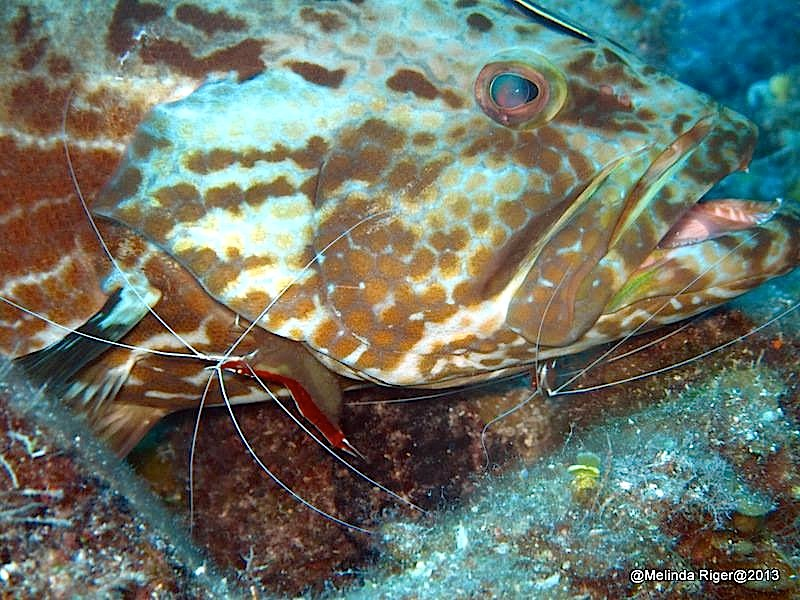 Grouper being cleaned ©Melinda Riger @ GB Scuba copy