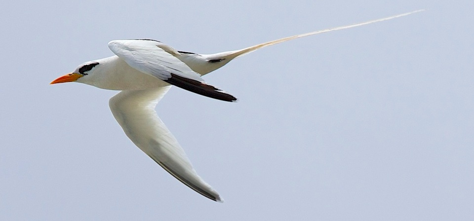 White-tailed Tropicbird, Abaco (Alex Hughes)