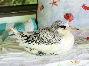 White-tailed Tropicbird, Bahamas (Melissa Maura)