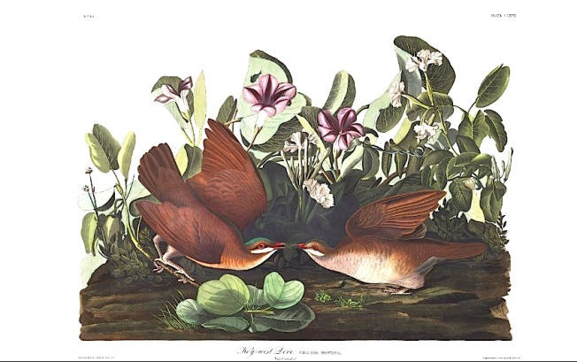Key-west Dove (J J Audubon)