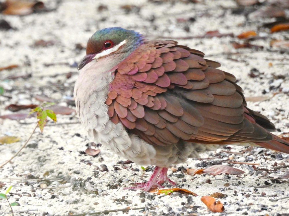 Key West Quail-Dove, Elbow Cay, Abaco (Milton Harris) 5a