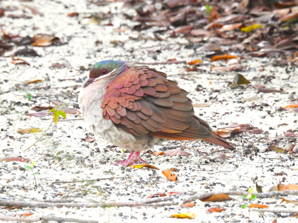 Key West Quail-Dove, Elbow Cay, Abaco (Milton Harris) 6a