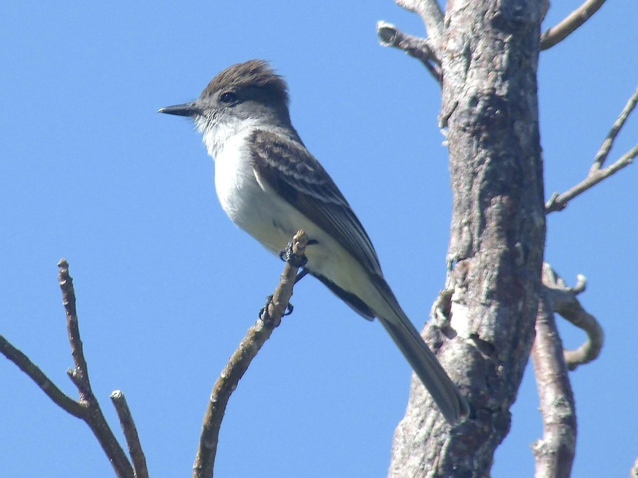La Sagra flycatcher, Abaco 1 (RH)