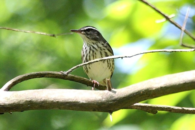 Louisiana_Waterthrush_(Parkesia_motacilla) Magnus Manske : Wiki