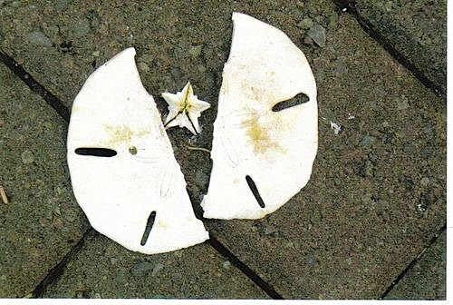 Sand Dollar : Aristotle's Lantern : Doves (Pinterest)