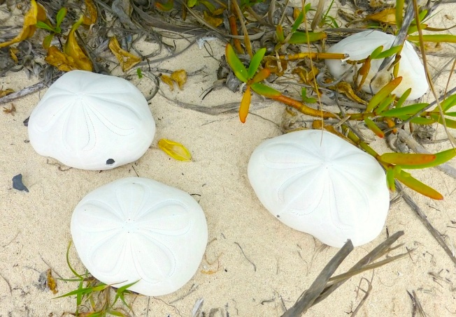 Sea Biscuits, Delphi, Abaco (Clare Latimer) copy