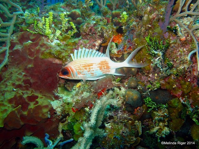 Squirrel Fish ©Melinda Riger @ G B Scuba