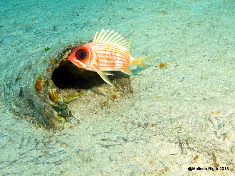 Elvis the Squirrelfish ©Melinda Riger GB Scuba