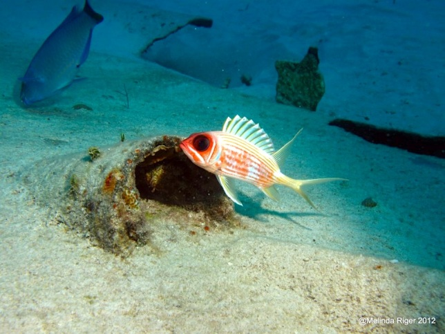 Squirrelfish (%22Elvis%22) ©Melinda Riger GB Scuba