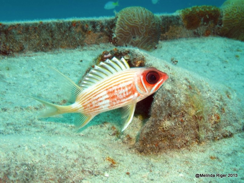 Squirrelfish ©Melinda Riger @ GB Scuba