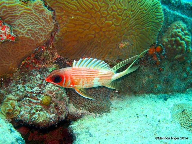 Squirrelfish (Elvis) ©Melinda Riger @ Grand Bahama Scuba