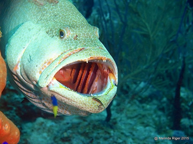 Tiger Grouper at cleaning station ©Melinda Riger @ G B Scuba copy